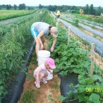 Three generations picking cucumbers